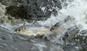 alewives(doug watts)2a